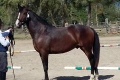 riconoscimento cavallo maremmano