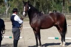 Cavallo maremmano