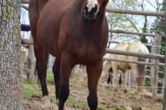 cavallo-cinigiano