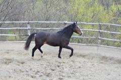cavallo-maremmano-cinigiano