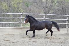 cavallo-maremmano-san-giorgio
