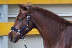 centro-equestre-cinigiano_compravendita