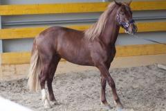 portoghese_centro-equestre-cinigiano