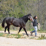 allevamento del cavallo maremmano