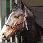 allevamento-centro-equestre-cinigiano