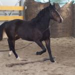 allevamento cavallo maremmano